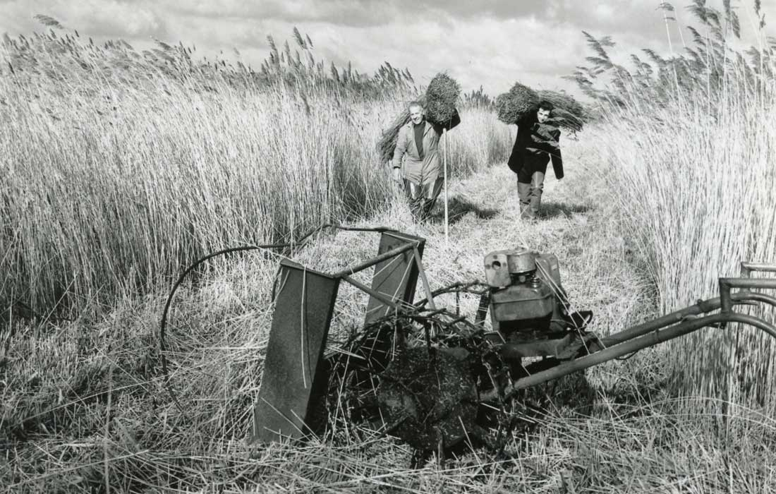 Peter and David cutting Reed at Dunwich